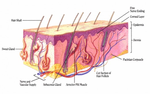 The Anatomy of Skin