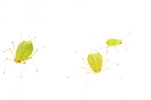 Adult aphids are pear-shaped and may be wingless (like those above) or winged.