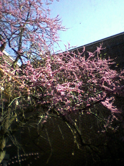 Mid-March blossoms in courtyard of Campbell Hall. Record High Temp 83 degrees.