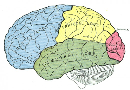 The Cerebral Cortex Diagram