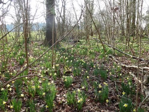 Daffodils in Dymock Woods on the Daffodil Way