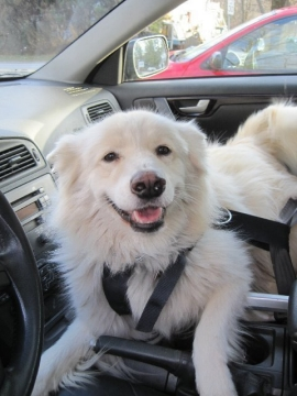 Kendra buckled in. (Make sure passenger-side airbags are disabled if your dog rides in the front seat like Kendra.)
