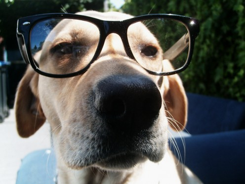 THIS POOR DOG HAS TO ENDURE THE SHAME OF WEARING FAKE EYEGLASSES.