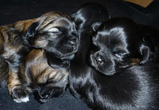 newborn puppies, Havanese Shitzu cross