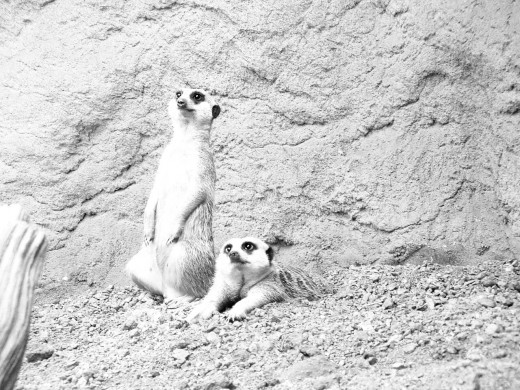Picture of meerkats to color