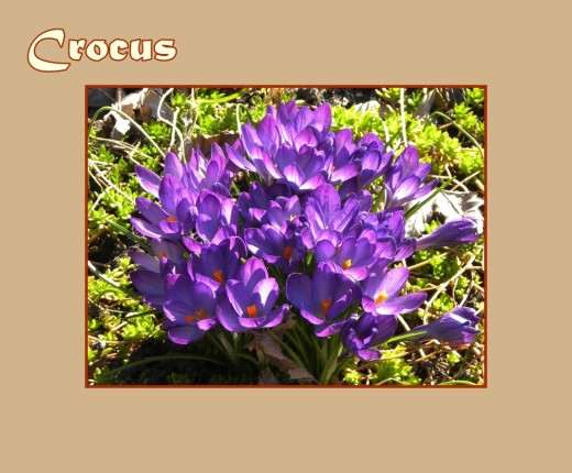 Purple Crocus - Early Flowers of Spring, photo by Rosie2010
