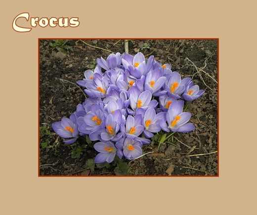 Lavender Crocus with orange stamens - Early Flowers of Spring, photo by Rosie2010