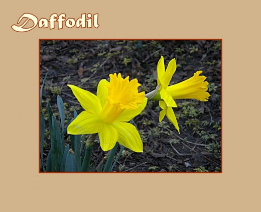 Yellow Daffodil - Early Flowers of Spring, photo by Rosie2010