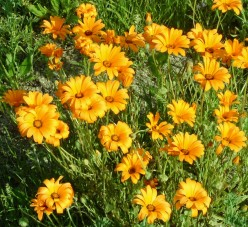 I believe these are Coreopsis Tickseed flowers.