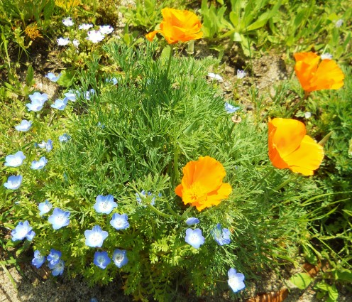 I believe these are Baby Blue Bells and Poppies.