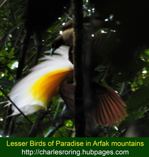 Male bird of paradise usually performs courtship dance in the morning to attract female birds of paradise