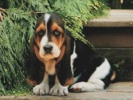 Basset hound puppy with large ears