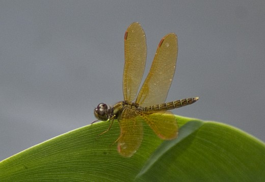 A golden dragonfly on a water hyacinth leaf.  Photo taken on the north slopes of Rincon de la Vieja Volcano.