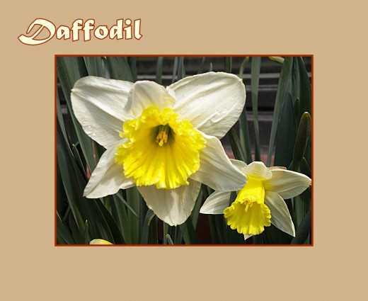 Daffodil with yellow trumpet and white petals - Early Flowers of Spring, photo by Rosie2010