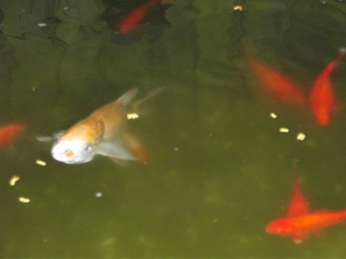 Had this guy from when I built the pond. I had to house him in a plastic barrel until I had finished the pond. It is a fish called the  Golden Orfe
