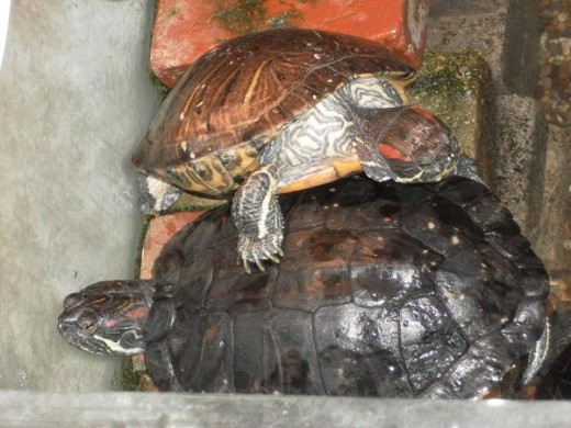 Red Eared Slider Terrapins or Turtles