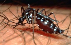 Clinical infectious disease - treatment of dengue fever