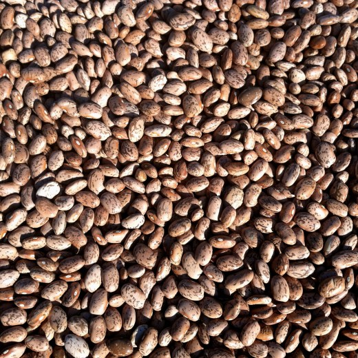 Pinto beans sorted before rinsing