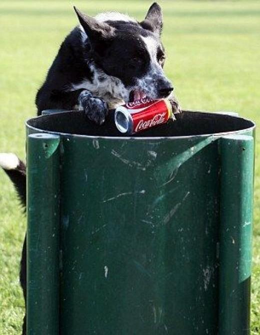 Meg the border collie cleans up litter