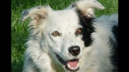 Chaser, the border collie who has learned more than 1000 words