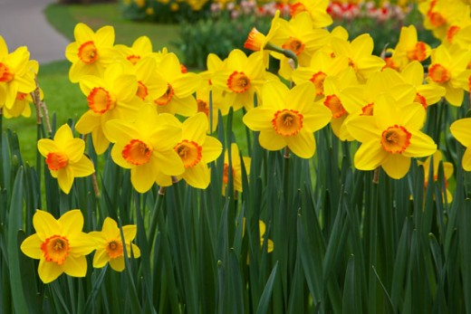 Daffodils - remind me of Wales