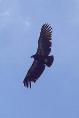 Condor at Pinnacles National Monument