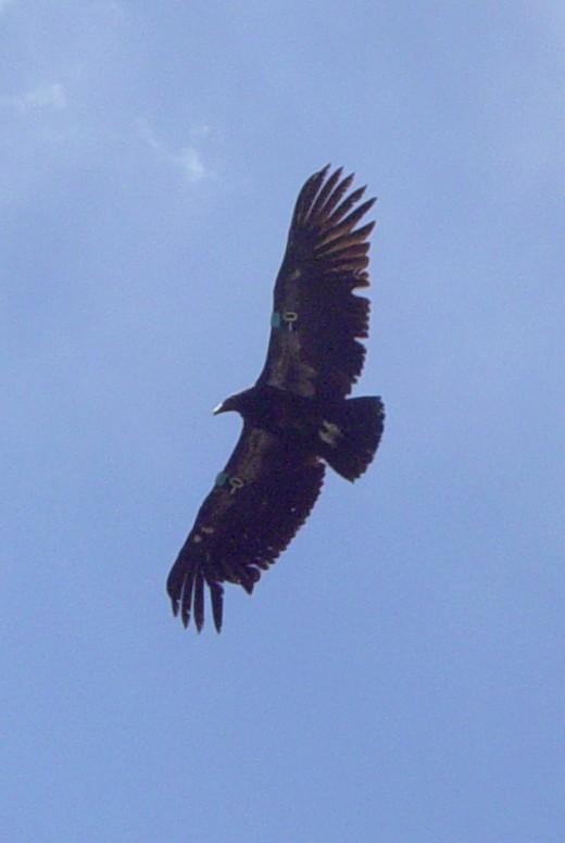 Condor at Pinnacles National Monument