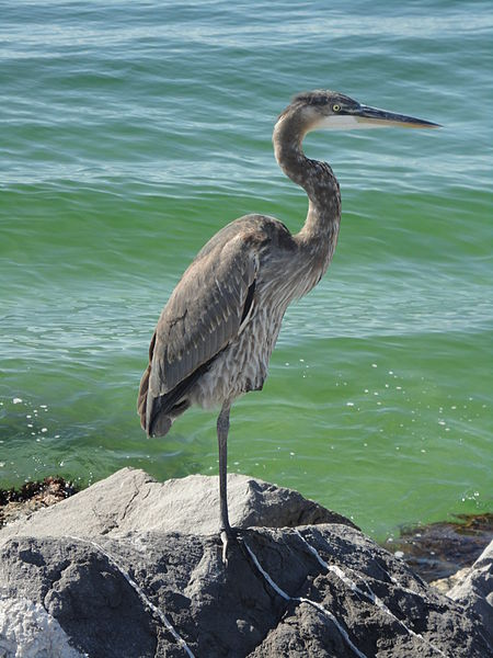 Blue Heron in Destin, Florida
