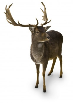 Can you tell how old a deer is by its antlers?