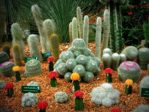 Old Man cactus, Mammillaria Humboldtii,