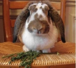 Lop rabbits enjoy attention and veggies.