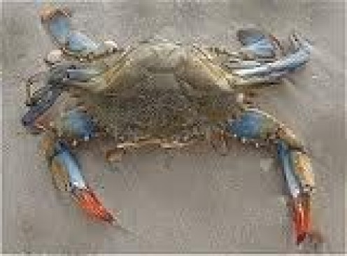 The awesome Maryland Blue Crab