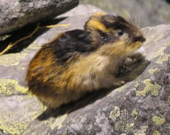 Why do lemmings throw themselves into the sea?