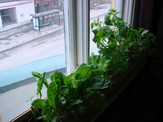 My housemates and I grew this lush windowsill garden. The greens made for a wonderfully fresh salad.