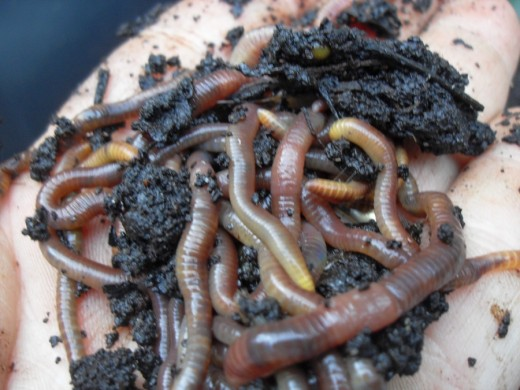 Red wriggler worms are natural composters!