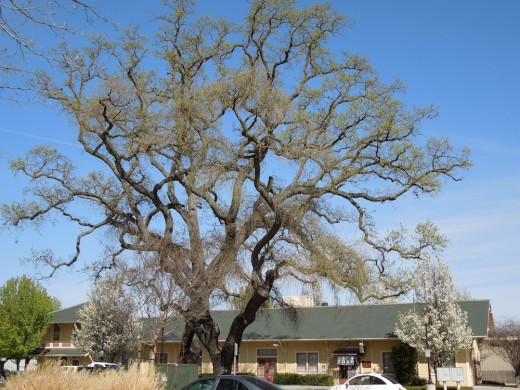 Oak beginning to leaf out near train station in Paso Robles, CA, March 22, 2012