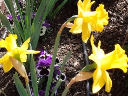 Daffodils and Pansies.