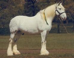 Gentle giants of the Equine world