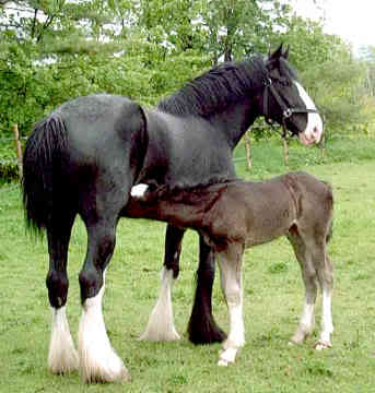 Shire mare and foal