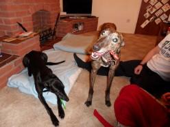 A Greyhound as a pet?