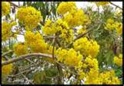This photo shows how the Tabebuia blooms in yellow clusters.