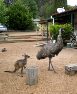 Wallaby and Emu being friends somewhere in South-Western Australia.