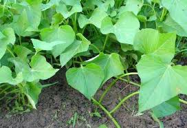 We grew sweet potatoes in 2011, That was neat. They take over 100 days to grow though, sometimes longer!