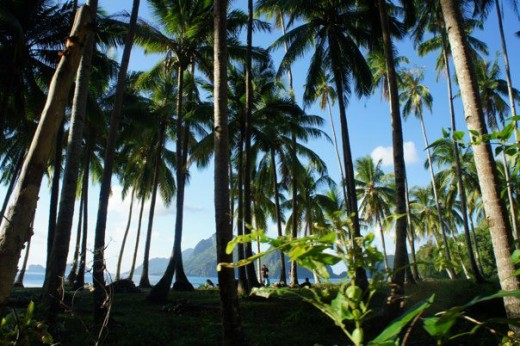 Tall Coco trees at El Nido, Palawan