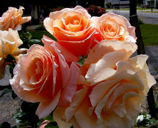lovely peach roses....