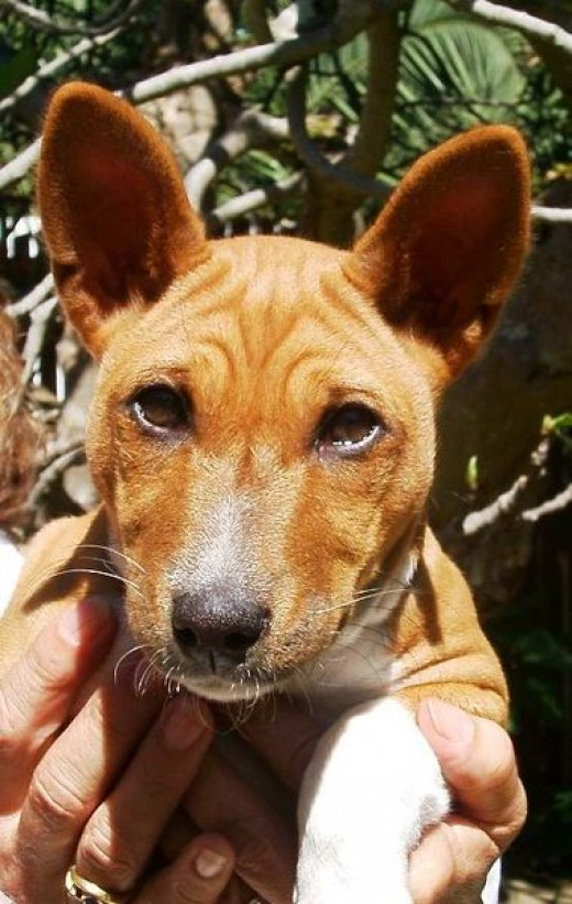 Portrait of Basenji puppy showing breeds distinctive wrinkled forehead.