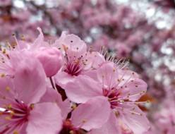 Victoria Cherry Blossoms 2012 Video
