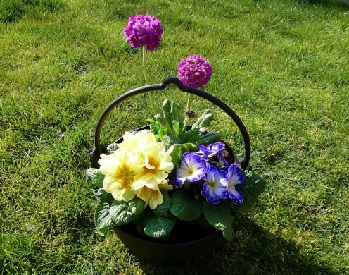 Primrose and Primula denticulata