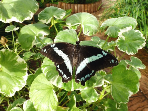 Papilio nireus - African Green-banded Swallowtail
