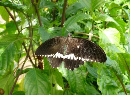 Papilio polytes - Common Mormon